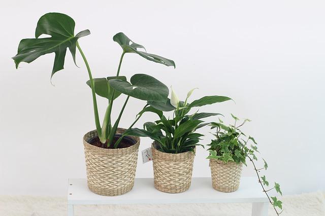 tři pokojové rostliny