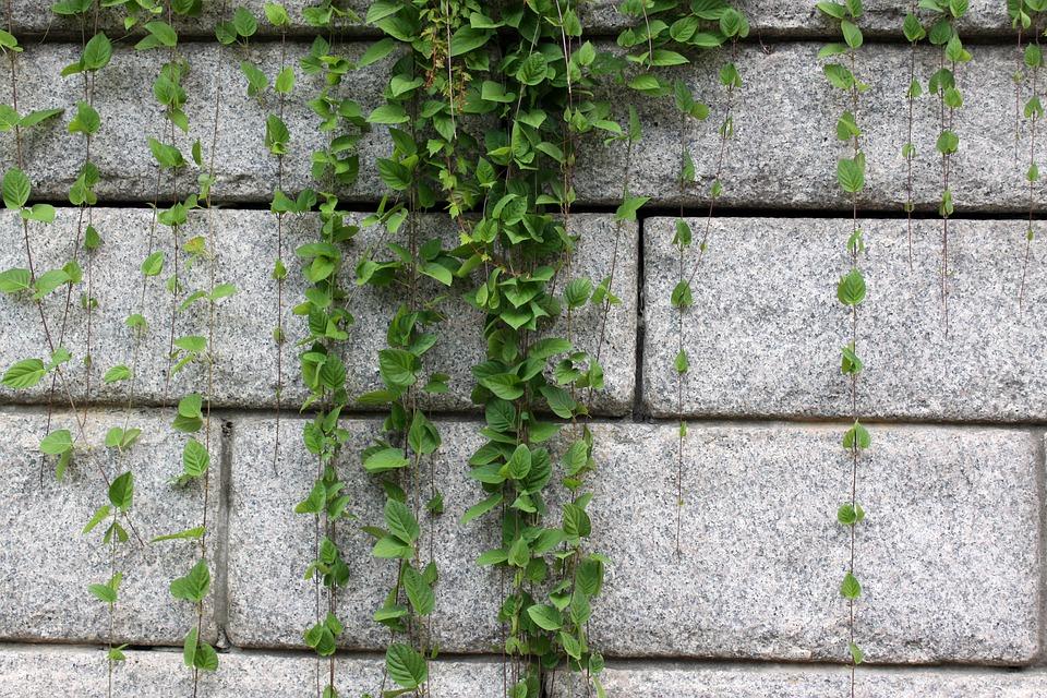 rostliny na zídce